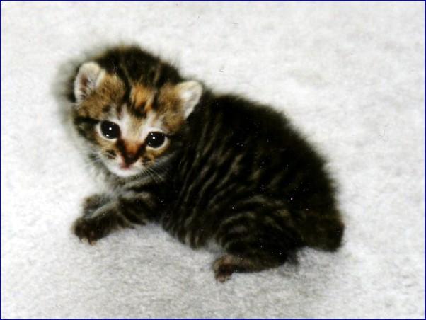 家猫 猫の種