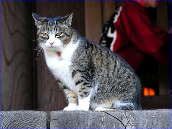 寺猫「本殿の主」