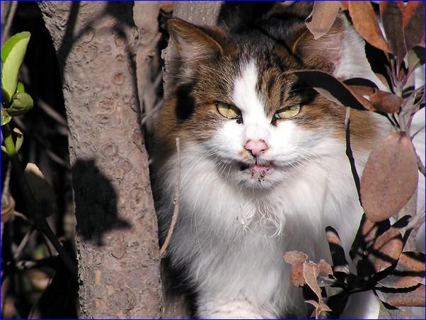 海猫 密林王