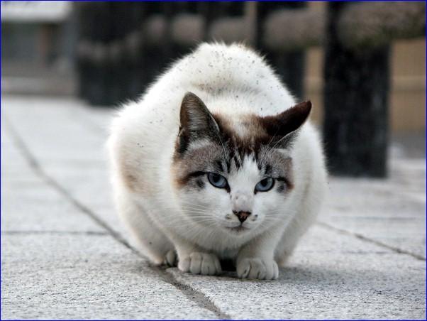 海猫 青い瞳のステラ